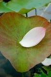 Het bloemblaadje van Lotus Royalty-vrije Stock Afbeeldingen
