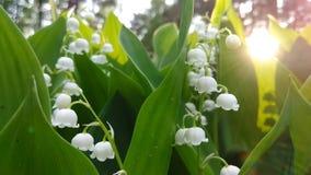 Het bloemenlelietje-van-dalen groeit in het bos met een straal van avondzon royalty-vrije stock foto's