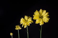 Het bloemenleven, groeien geïsoleerd op zwarte met waterdalingen Close-up Stock Afbeeldingen