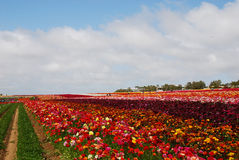 Het bloemgebied Stock Fotografie