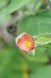 Het bloemgebied Poppy Moon bloeit rode geel Stock Fotografie