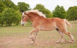 Het blonde Belgische ontwerppaard galopperen Stock Afbeeldingen