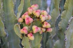 Het blozen cactus Stock Foto's