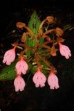Het boeket roze-Lipper Habenaria (de Roze Onverwachte Bloem van de Draak) Royalty-vrije Stock Afbeeldingen