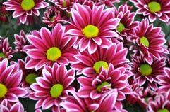 Het boeket van bloemen met bloemblaadjes van roze kleur met een wit eindigt en een geel hart stock foto