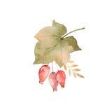 Het boeket van de waterverfherfst van bladeren, takken en dogrose bessen op witte achtergrond worden geïsoleerd die Stock Afbeeldingen