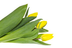 Het boeket van drie gele tulpen. Royalty-vrije Stock Foto's