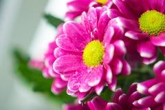 Het boeket van roze chrysanten sluit omhoog macro Royalty-vrije Stock Afbeelding