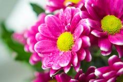 Het boeket van roze chrysanten sluit omhoog macro Stock Fotografie
