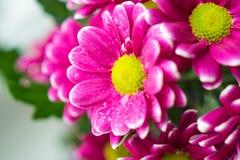 Het boeket van roze chrysanten sluit omhoog macro Royalty-vrije Stock Foto's
