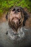 Het Boheemse wire-haired Richten griffon Stock Foto
