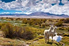 Het Boliviaanse wild Stock Afbeeldingen