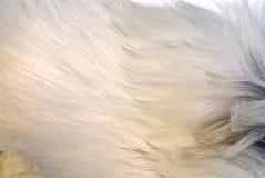 Het bont van de geit Stock Foto