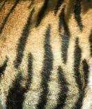 Het bont van de tijger Stock Fotografie