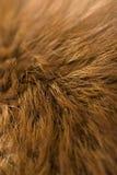 Het bont van de vos Stock Foto
