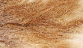 Het bont van de vos Royalty-vrije Stock Afbeeldingen