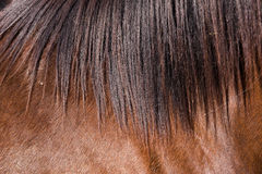 Het bont van het paard Stock Foto's
