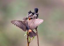 Het bonte bushchatsaxicola caprata-jeugd voeden Stock Foto