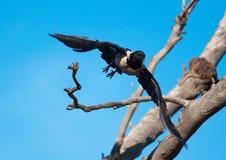 Het bonte kraai vliegen Stock Fotografie