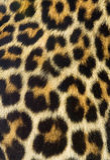 Het bonttextuur van de luipaard Stock Foto's