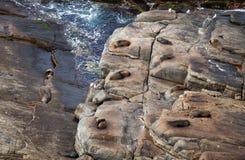 Het Bontverbinding van Nieuw Zeeland, Arctocephalus-forsteri, lang-besnuffelde bontverbinding met zijn babypuppy De verbinding va stock foto's