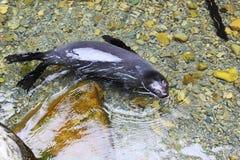 Het BontZeehondejong die van Nieuw Zeeland in duidelijk water zwemmen Stock Afbeelding