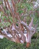 Het boommahonie (Arbutus andrachne L) groeit in de Krim stock afbeeldingen