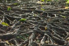 Het Boomwortels in grond Royalty-vrije Stock Afbeeldingen