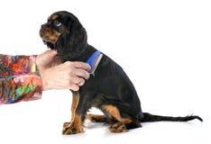Het borstelen van puppy arrogante koning Charles royalty-vrije stock foto's