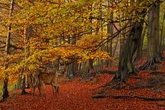 Het bos in de Herfst Stock Afbeeldingen