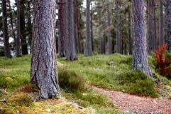 Het Bos die van de Scot` s Pijnboom door de Boomstammen turen stock foto's