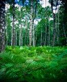 Het bos en de varen van de berk stock foto