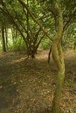 Het bos, Roze Gebied van Bedden, Pisgah N-F Stock Afbeelding