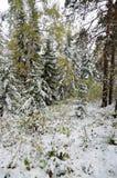 Het bos van Altay Stock Foto