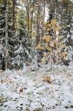 Het bos van Altay Royalty-vrije Stock Fotografie