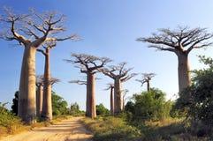 Het bos van baobabs stock foto