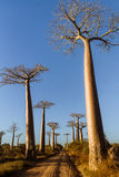 Het bos van baobabs - Madagascar stock fotografie