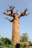 Het bos van baobabs - Madagascar Royalty-vrije Stock Fotografie