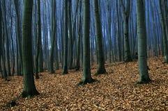 Het bos van beuken royalty-vrije stock foto