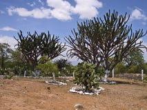 Het bos van cactussaguaro in Mexico Stock Afbeeldingen