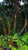 Het bos van Chinobre Royalty-vrije Stock Foto's