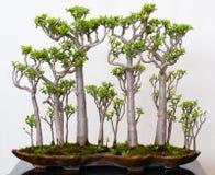 Het bos van Crassula als bonsai Royalty-vrije Stock Foto's
