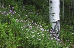 Het bos van de berg in Rotsachtige Bergen Royalty-vrije Stock Afbeelding