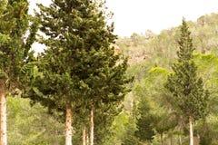 Het bos van de bergpijnboom Royalty-vrije Stock Afbeeldingen