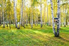 Het bos van de berk stock afbeeldingen