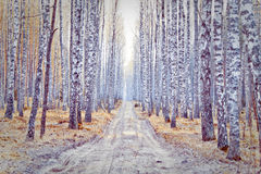 Het Bos van de berk royalty-vrije stock foto's