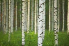 Het bos van de berk stock fotografie