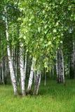 Het bos van de berk Stock Foto