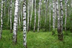 Het bos van de berk Royalty-vrije Stock Foto