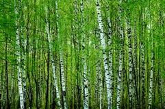 Het bos van de berk Stock Afbeelding